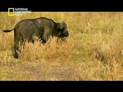 مستند صحنه های شکار شیر وحشی گرسنه
