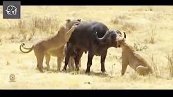 مستند درگیری حیوانات شکار شیر تمساح اسب ابی گوره خر