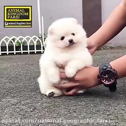 سگ فنجانی که شبیه توله خرسه