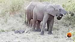 کمک های اولیه به فیل جوان در حال مرگ به سبک فیل ماده