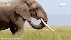 نبرد هیجان انگیز فیل ها رو تماشا کنید