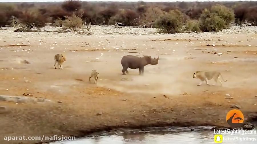 حمله شیرها به کرگدن