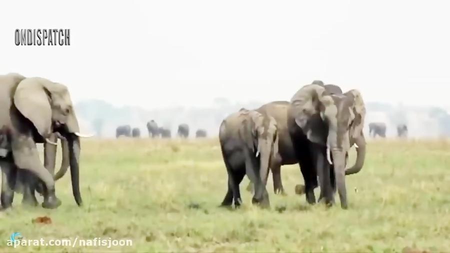 ناکامی شیر برای شکار فیل