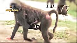 جنگ و نبرد شیر و گوریل در حیات وحش