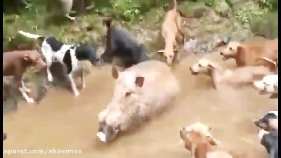 حمله ی گراز وحشی به دام افتاده به سگ های شکاری