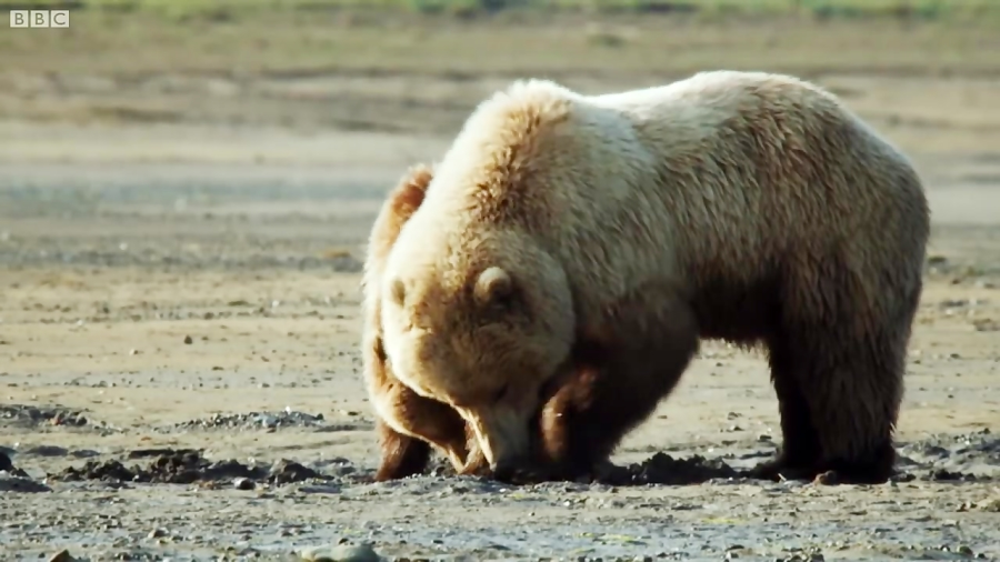 حیات وحش آلاسکا | خرس های گریزلی در حال شکار