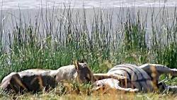 شکار گورخر توسط شیر مادر