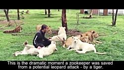 نجات نگهبان باغ وحش توسط ببر از حمله پلنگ