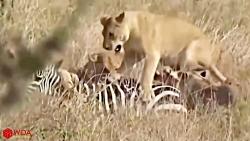 کروکودیل مقابل شیر مقابل گورخر | گورخر از کروکودیل فرار کرد ولی شکار شیر شد