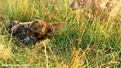 شکار و خوردن کفتار توسط شیرها در حیات وحش