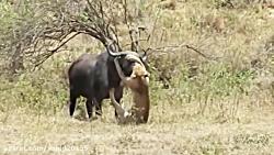 شکار بوفالو توسط شیرها در حیات وحش