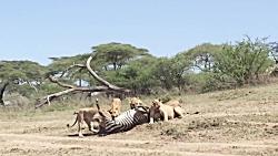 شکار گورخر توسط شیر | قدرت نمایی شیر