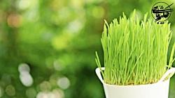 ویژه عید نوروز - زمان مناسب برای کاشت سبزه عید