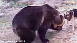 جنگ و نبرد عجیب بین خرس و سگ