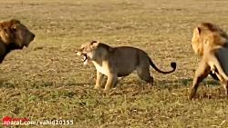 شگفت انگیزترین جنگ و نبرد شیرها در حیات وحش