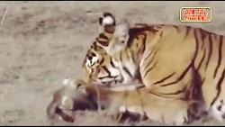 قدرت نمایی خانواده گربه های وحشی در حیات وحش | قهارترین شکارچیان طبیعت