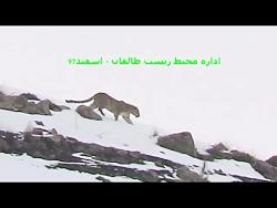 مشاهده پلنگ ایرانی در طالقان
