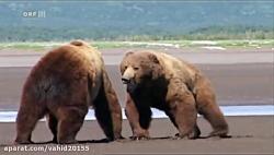 جنگ خرس های گریزلی در حیات وحش