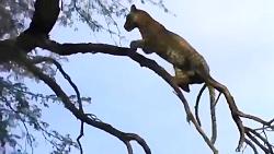 شکار باورنکردنی پرنده از بالای درخت توسط پلنگ