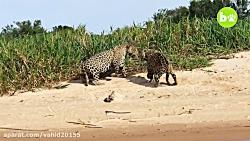 جنگ و نبرد 2 پلنگ در حیات وحش