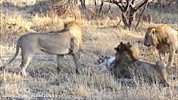شکار و خوردن شیر توسط شیر جنگل!
