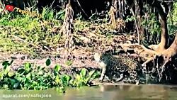 یکی از هیجان انگیزترین شکارچیان حیات وحش