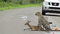 اولین شکار یوزپلنگ جوان