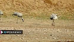 شهرستان خواف میزبان پرندگان مهاجر