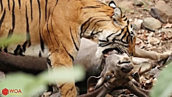 شکار ماهرانه گوزن توسط ببر | تلاش ناکام گوزن برای فرار