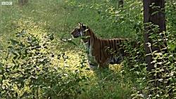 اولین شکار ببر جوان | بخشی از مستند جاسوسی در جنگل