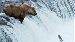 هنرنمایی خرس در شکار ماهی سالمون (ماهی آزاد) در رودخانه