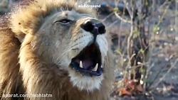 غرّش خفن شیر،سلطان جنگل