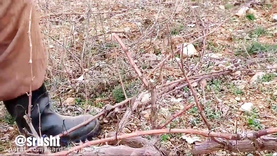 هرس درختان تاکستان انگور سیاه در سردشت