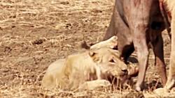 بارونکردنی مثل نبرد بوفالو مقابل شیر | شیر توسط بوفالو کشته می شود؟!