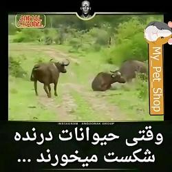 وقتی حیوانات درنده شکس...