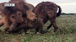 بزرگترین اشتباه زندگی کفتار | حمله کفتار به شیر و تاوان سختی که در راه است..
