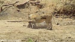 شکار گوزن توسط ماده شیر