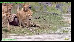 شکار و مرگ یک شیر نر بزرگ توسط کروکودیل