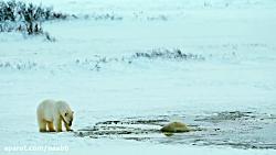 مستند حیات وحش - به سوی قطب شمال To the Arctic 2012 زیرنویس فارسی