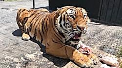 ابهت ببر سیبری | یکی از بهترین شکارچیان حیات وحش را از نزدیک ببینید