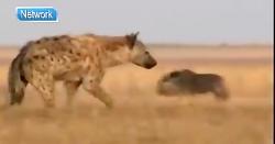 موزی ترین شکارچی حیات وحش, کفتار