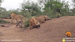 کشتن توله کفتار توسط شیر