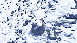 سقوط وحشتناک پلنگ برفی در حین تلاش برای شکار