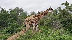تصاویر نادری از شکار زرافه توسط شیرهای نر