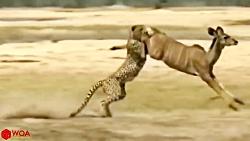 مزاحمت فیل ها به چیتای در حال شکار
