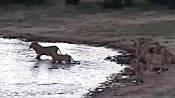 حرکت غافلگیرانه فیل در مقابل شیرها برای نجات بوفالو