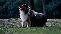 سگ نژاد شتلند شیپداگ بهترین برای آموزش
