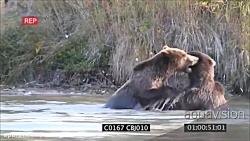 نبرد سهمگین خرس های گریزلی