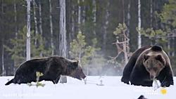 نبرد خرس های گریزلی