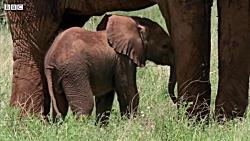بیهوش کردن فیل | آیا فیل مادر روی فیل کوچولو سقوط می کند؟